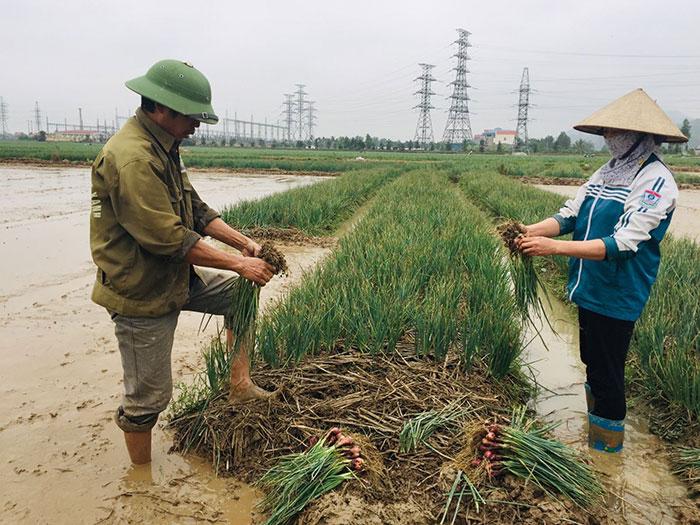 Thu hoạch hành tỏi Kinh Môn